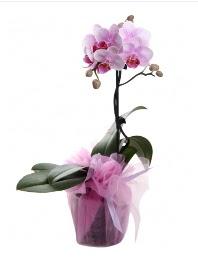 1 dal pembe orkide saksı çiçeği  Tunceli cicekciler , cicek siparisi