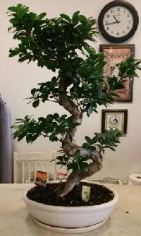 100 cm yüksekliğinde dev bonsai japon ağacı  Tunceli çiçek online çiçek siparişi