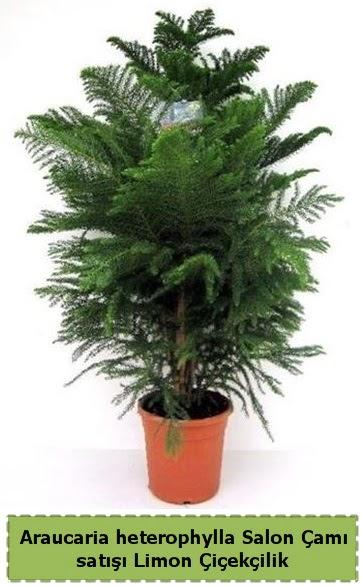 Salon Çamı Satışı Araucaria heterophylla  Tunceli yurtiçi ve yurtdışı çiçek siparişi