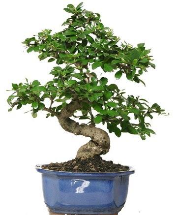 21 ile 25 cm arası özel S bonsai japon ağacı  Tunceli güvenli kaliteli hızlı çiçek
