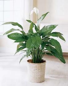Tunceli ucuz çiçek gönder  spatilyum ithal büyük boy
