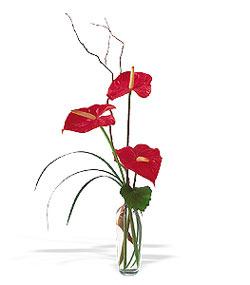 Tunceli çiçek yolla  cam yada mika Vazoda 3 adet  antoryum