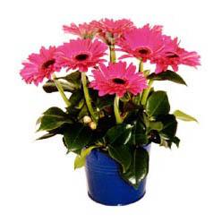 vazo içerisinde gerbera çiçekleri   Tunceli ucuz çiçek gönder