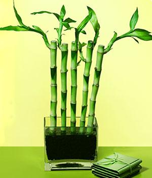 Tunceli çiçekçiler  Good Harmony Lucky Bamboo camda
