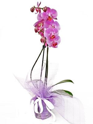 Tunceli çiçekçiler  Kaliteli ithal saksida orkide