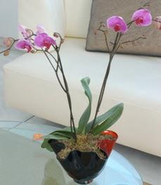 Tunceli çiçek gönderme sitemiz güvenlidir  tek dal ikili orkide saksi çiçegi