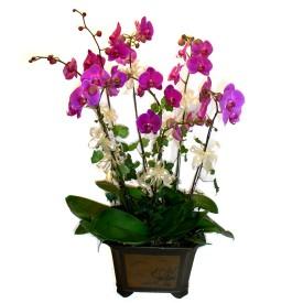 Tunceli hediye çiçek yolla  4 adet orkide çiçegi
