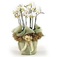Tunceli çiçek yolla  3 dal orkide , saksi çiçegi , 3 kök orkide