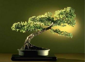 ithal bonsai saksi çiçegi  Tunceli çiçek gönderme sitemiz güvenlidir
