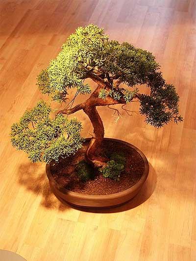 ithal bonsai saksi çiçegi  Tunceli cicek , cicekci