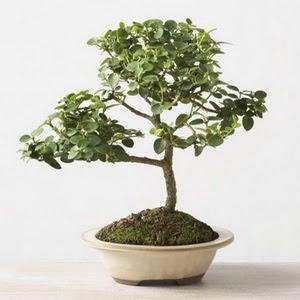 ithal bonsai saksi çiçegi  Tunceli çiçek siparişi vermek