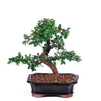 ithal bonsai saksi çiçegi  Tunceli çiçek , çiçekçi , çiçekçilik