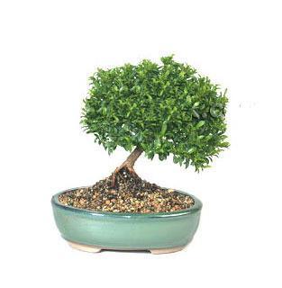 ithal bonsai saksi çiçegi  Tunceli çiçekçi mağazası
