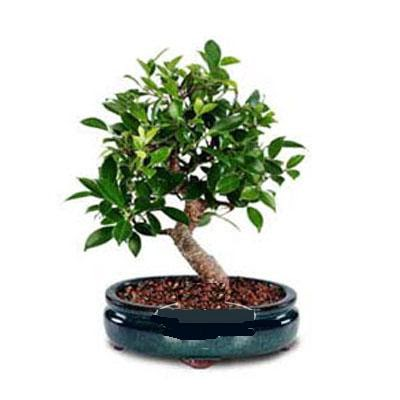ithal bonsai saksi çiçegi  Tunceli çiçek yolla