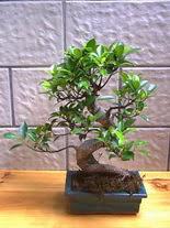 ithal bonsai saksi çiçegi  Tunceli internetten çiçek siparişi