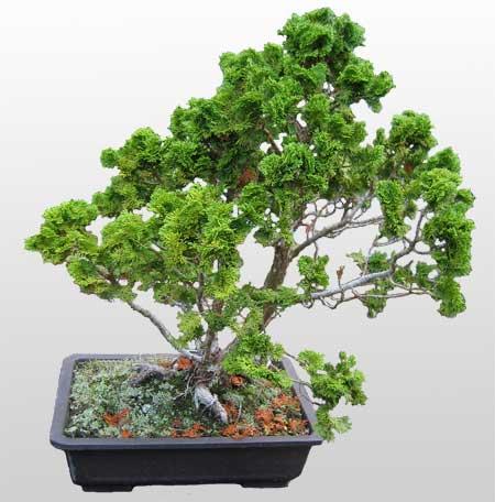 ithal bonsai saksi çiçegi  Tunceli çiçek online çiçek siparişi