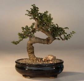 ithal bonsai saksi çiçegi  Tunceli internetten çiçek satışı