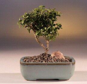 Tunceli çiçek mağazası , çiçekçi adresleri  ithal bonsai saksi çiçegi  Tunceli çiçek gönderme