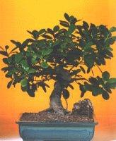 Tunceli güvenli kaliteli hızlı çiçek  ithal bonsai saksi çiçegi  Tunceli çiçek satışı