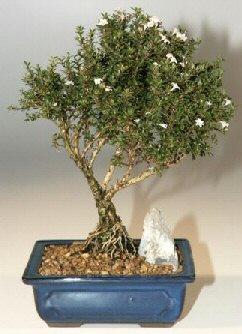Tunceli online çiçekçi , çiçek siparişi  ithal bonsai saksi çiçegi  Tunceli ucuz çiçek gönder