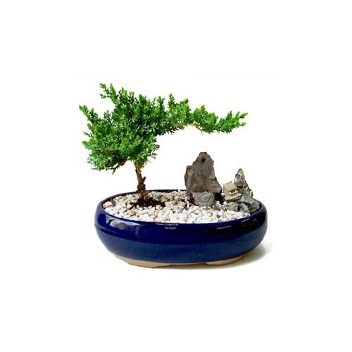 ithal bonsai saksi çiçegi  Tunceli kaliteli taze ve ucuz çiçekler