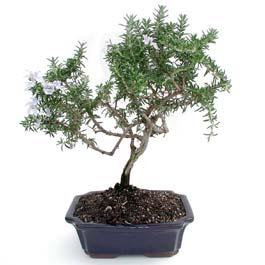 ithal bonsai saksi çiçegi  Tunceli güvenli kaliteli hızlı çiçek