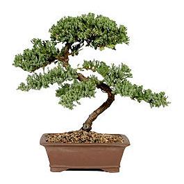 ithal bonsai saksi çiçegi  Tunceli çiçek servisi , çiçekçi adresleri