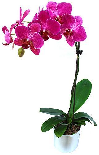 Tunceli çiçek gönderme sitemiz güvenlidir  saksi orkide çiçegi