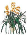 Tunceli çiçekçi telefonları  Orchiede ithal büyük boy saksi