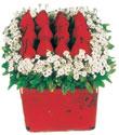 Tunceli kaliteli taze ve ucuz çiçekler  Kare cam yada mika içinde kirmizi güller - anneler günü seçimi özel çiçek