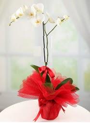 1 dal beyaz orkide saksı çiçeği  Tunceli 14 şubat sevgililer günü çiçek