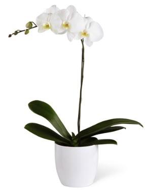 1 dallı beyaz orkide  Tunceli internetten çiçek satışı