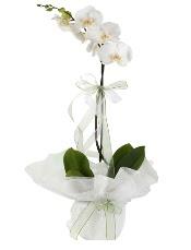 1 dal beyaz orkide çiçeği  Tunceli çiçek , çiçekçi , çiçekçilik
