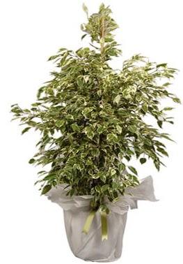 Orta boy alaca benjamin bitkisi  Tunceli çiçek gönderme