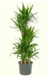 7 li yucca saksı bitkisi  Tunceli online çiçek gönderme sipariş