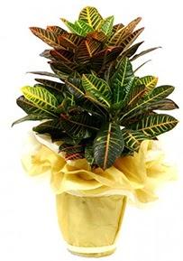 Orta boy kraton saksı çiçeği  Tunceli internetten çiçek satışı
