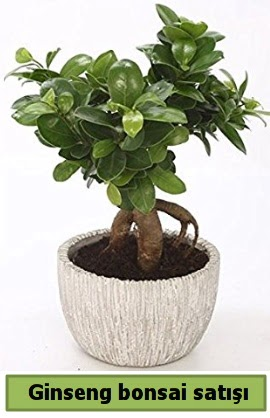 Ginseng bonsai japon ağacı satışı  Tunceli güvenli kaliteli hızlı çiçek