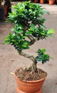 Orta boy bonsai saksı bitkisi  Tunceli çiçek satışı