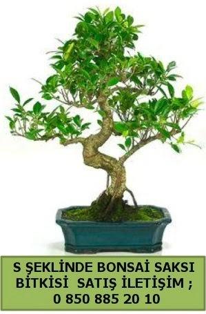İthal S şeklinde dal eğriliği bonsai satışı  Tunceli kaliteli taze ve ucuz çiçekler