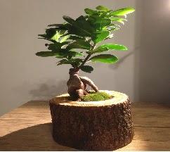 Doğal kütükte Bonsai japon ağacı satışı  Tunceli çiçek gönderme