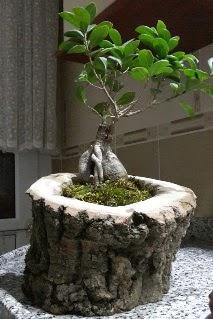 Ahşap kütük içerisinde ginseng bonsai  Tunceli çiçek satışı