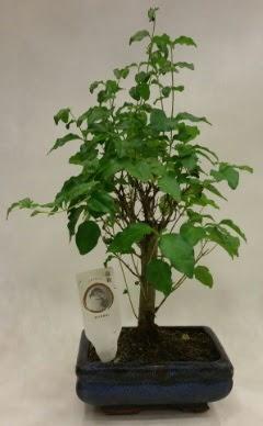 Minyatür bonsai japon ağacı satışı  Tunceli güvenli kaliteli hızlı çiçek
