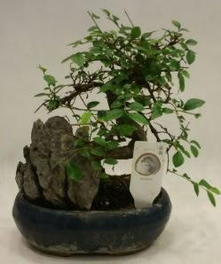 İthal 1.ci kalite bonsai japon ağacı  Tunceli yurtiçi ve yurtdışı çiçek siparişi