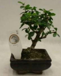 Küçük minyatür bonsai japon ağacı  Tunceli kaliteli taze ve ucuz çiçekler