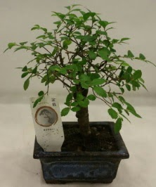 Minyatür ithal japon ağacı bonsai bitkisi  Tunceli yurtiçi ve yurtdışı çiçek siparişi