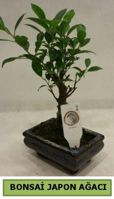 Bonsai japon ağacı saksı bitkisi  Tunceli online çiçek gönderme sipariş