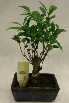 Japon ağacı bonsai bitkisi satışı  Tunceli güvenli kaliteli hızlı çiçek