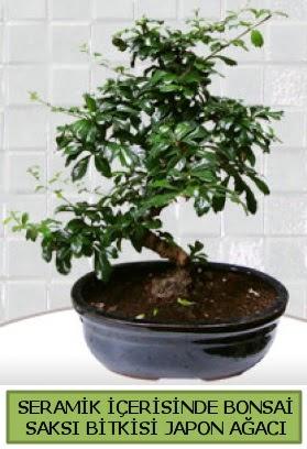 Seramik vazoda bonsai japon ağacı bitkisi  Tunceli çiçek yolla