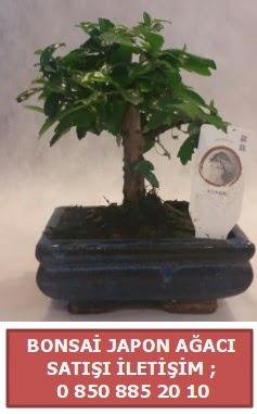 Japon ağacı minyaür bonsai satışı  Tunceli yurtiçi ve yurtdışı çiçek siparişi