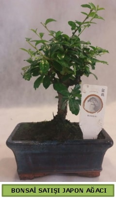 Minyatür bonsai ağacı satışı  Tunceli kaliteli taze ve ucuz çiçekler